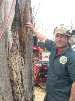 Frank Bankowski shows some of the tree's rot and insect infestation.