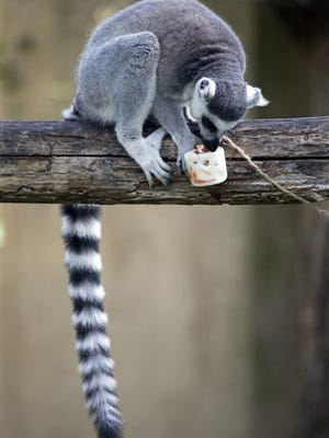 A lemur licks a block of frozen yogurt and fruit to refresh itself in Rome's Bioparco zoo, Wednesday, July, 13, 2016. Zoo staff offered animals frozen and refrigerated food to refresh them as temperatures are expected to rise over the coming days.