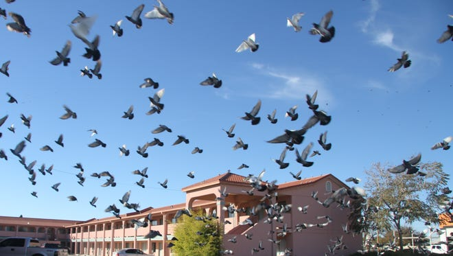A flock of pigeons scatter in the parking lot of the Executive Suites and Hotel on S. Canal St.