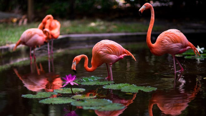 The Everglades Wonder Gardens is the place to  see flamingos.