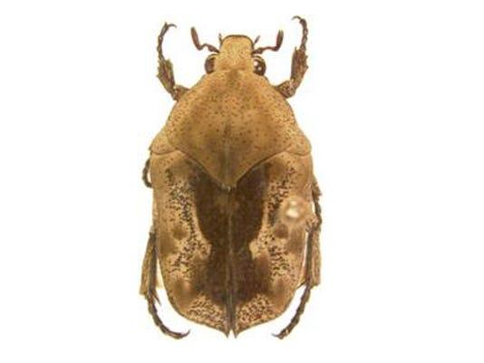Gymnetini Scarabaeidae