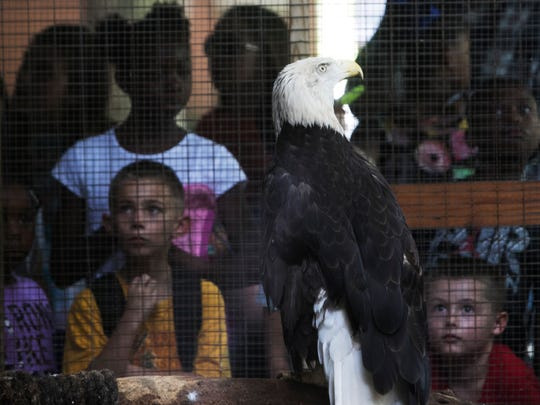 Day campers get a close up look at Erica the bald eagle at the Calusa Nature Center and Planetarium on Tuesday. She is heading to a vet for a check up on the condition of her head.