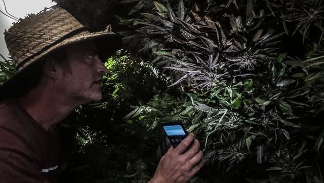 Patrick Kelly, a cannabis grand master grower shines a light on cannaibis curing in a dark room at a cannabis growing facility that he rents in Coachella on Tuesday, April 3, 2018. Kelly is the first grower to operate a state licensed cannabis growing facility in Coachella.