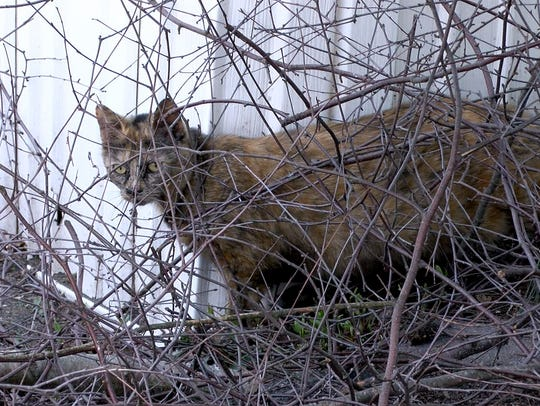 One of the stray cats that wander through the Angle Inn mobile home park in Farmingdale is shown Thursday, April 5, 2018. The Associated Humane Societies is working on a trap-neuter-release program to control the cat colonies throughout Monmouth County.