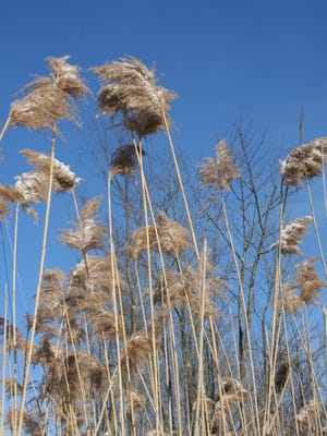 A stand of phragmities australis is pictured in the Town of Milan. Better known as the common reed, a new study has found the plant can be used as an ingredient in biofuel pellets.