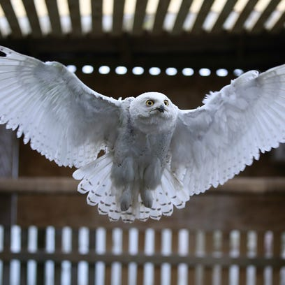 Months after a daring rescue on a Louisville freeway, a snowy owl is about to be set free