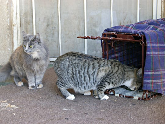 A cat eats food from a trap during a Trap Neuter Return