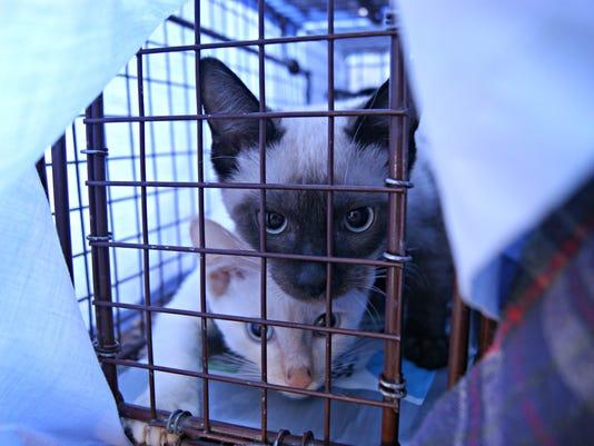 Three kitten caught in Trap Neuter Return effort