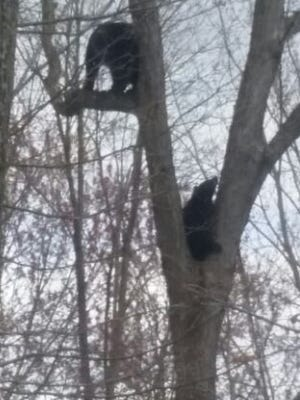 Police closed Weldler Park on Sunday afternoon after four black bears roaming the area attracted a crowd of neighborhood kids.