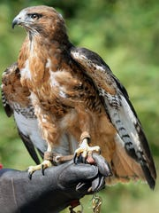 West Sound Wildlife Shelter's red-tailed hawk named Cedar in Port Gamble on Monday. The Bainbridge shelter plans to move to a new campus near Port Gamble.