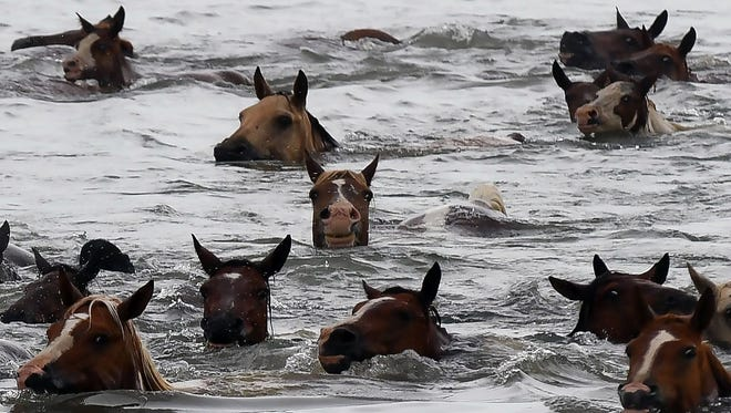 Wild ponies swim across the Assateague Channel on July 25, 2018, during the 93rd annual pony swim to Chincoteague Island, Virginia.
