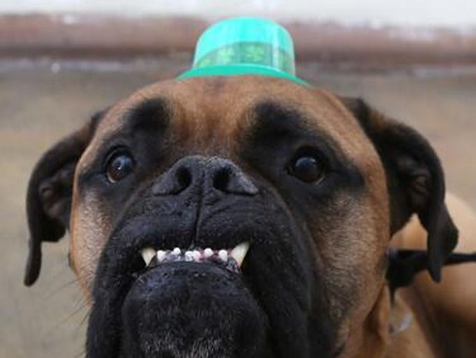 Happy St. Paw-trick's Day! Meet Nigel, a pooch awaiting adoption at PAWS Chicago.