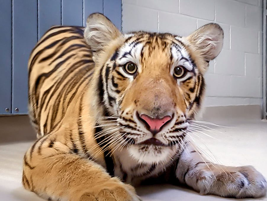 An 11-month-old male tiger named Harvey arrived on Louisiana State University's campus Tuesday. He could potentially become the university's next mascot, Mike VII.