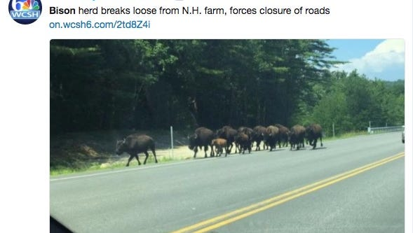 Twenty-five bison broke loose from a farm Tuesday afternoon in Gilford, New Hampshire, and several people captured the Yellowstone-like moment on camera.