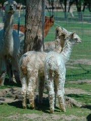 The Alpacas at Windy Hill will be ready for visitors