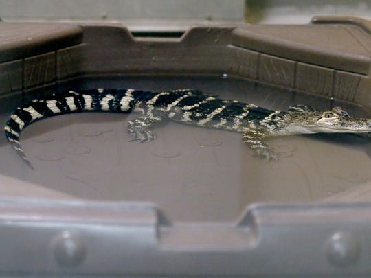It's illegal in New York to possess any member of the crocodilian family without permits, so the 3.5-foot-long animal was confiscated from an individual who had it in a large glass tank in the bedroom of a house.