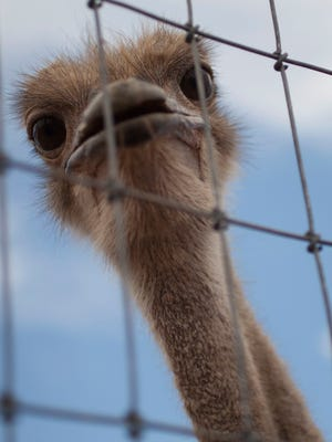 An ostrich at the Rooster Cogburn Ostrich Ranch in Picacho Peak.