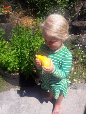 "Eleanor ""Edie"" Foy, 3, granddaughter of Glenwood Garden Club member Claire Giardina, examines a squash produced from a seedling she planted in the family garden in Seattle, Wash."