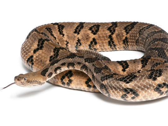 Timber rattlesnakes can be found in wooded areas of Tennessee.
