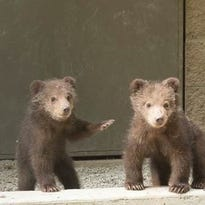 Two new kodiak bear cubs that were orphaned in Alaska will be the first residents in the new bear exhibit scheduled to be completed by the end of October.