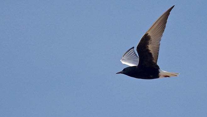 A white-winged tern is seen flying over Manitowoc. The shorebird native to Eurasia, last recorded in Wisconsin in 1873, was spotted Saturday afternoon at an impoundment along Lake Michigan.