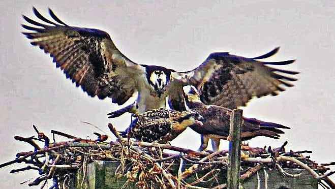 Ospreys sit in their nest atop a pole in the middle of the Chemung River in downtown Elmira.