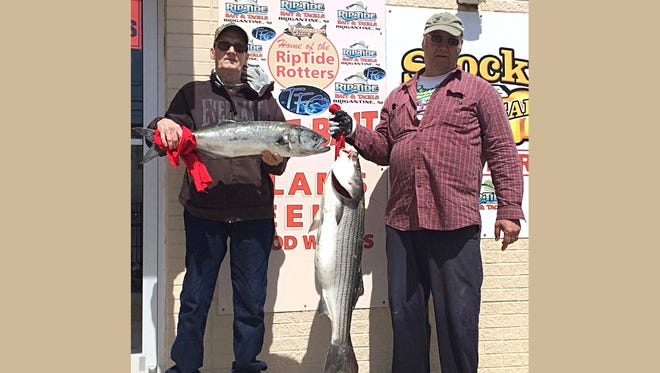 """Joe Neild with the first keeper striper checked in at RipTide Bait and Tackle. The fish weighed in at 27 lbs., and was 40.5"""". He also weighed in a 31.5"""", 8 lb. bluefish."""