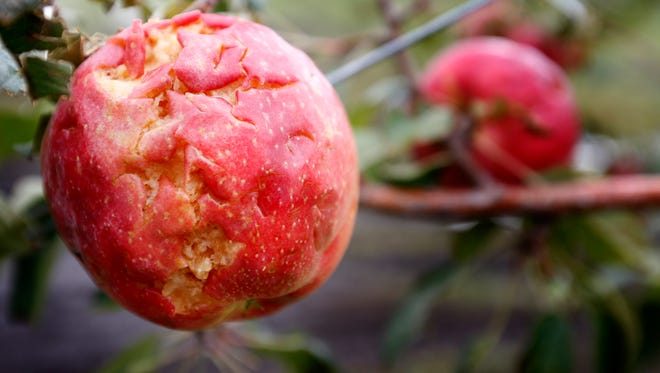 A damaged SweeTango apple in one of the orchards of  Untiedt's Vegetable Farm shows storm damage, Wednesday, Sept. 3, 2014 in Waverly, Minn. Thunderstorms have swept across western and central Minnesota, causing street flooding and wiping out an orchard's apple crop the day before it was to be picked. (AP Photo/The Star Tribune, Carlos Gonzalez)  MANDATORY CREDIT; ST. PAUL PIONEER PRESS OUT; MAGS OUT; TWIN CITIES LOCAL TELEVISION OUT