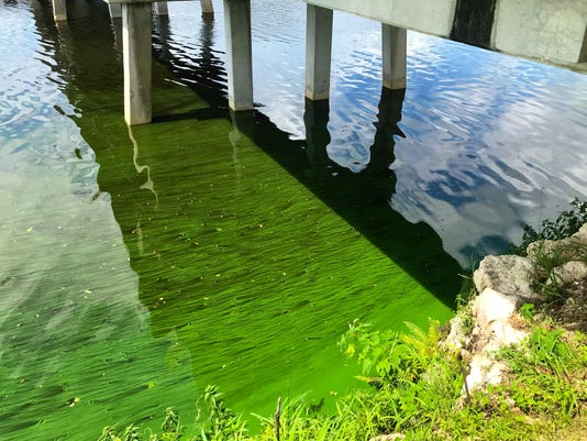 Algae blooms at the foot of the Fort Denaud bridge in Hendry County