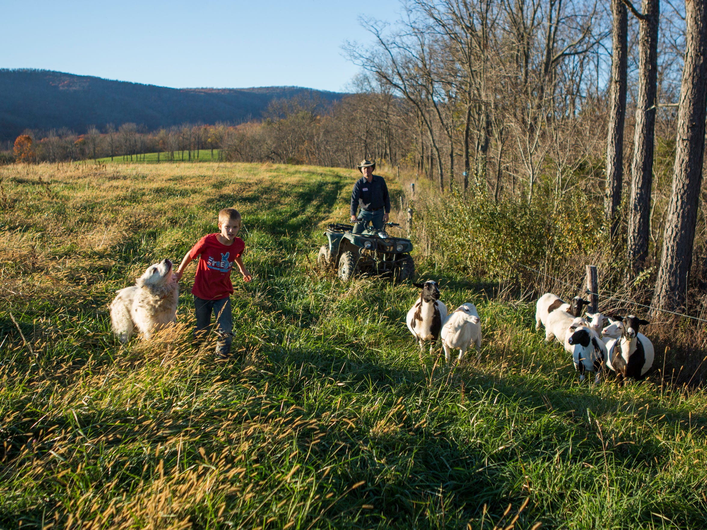 Andrew Salatin helps heard sheep back to their pen with his father, Daniel Salatin, after the animals escaped from their forest enclose at Polyface Farms in Swoope on Oct. 30, 2015.