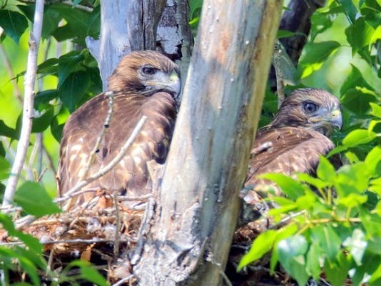 hawk-chicks.jpg
