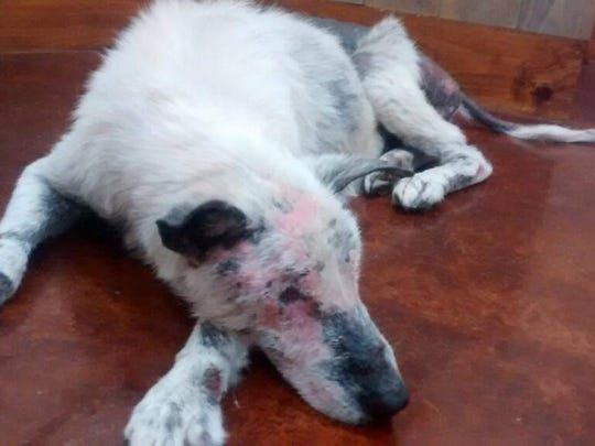 Ulysses is being treated for mange, malnutrition and