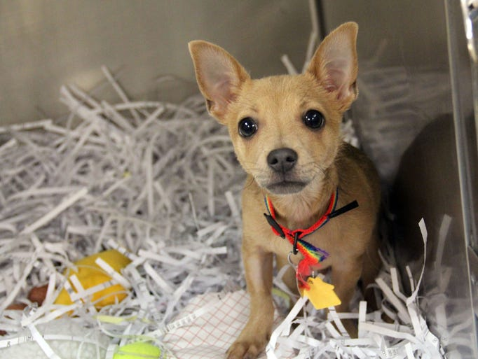 MARCH 30 – Shocky is a 3-month-old black and tan Chihuahua