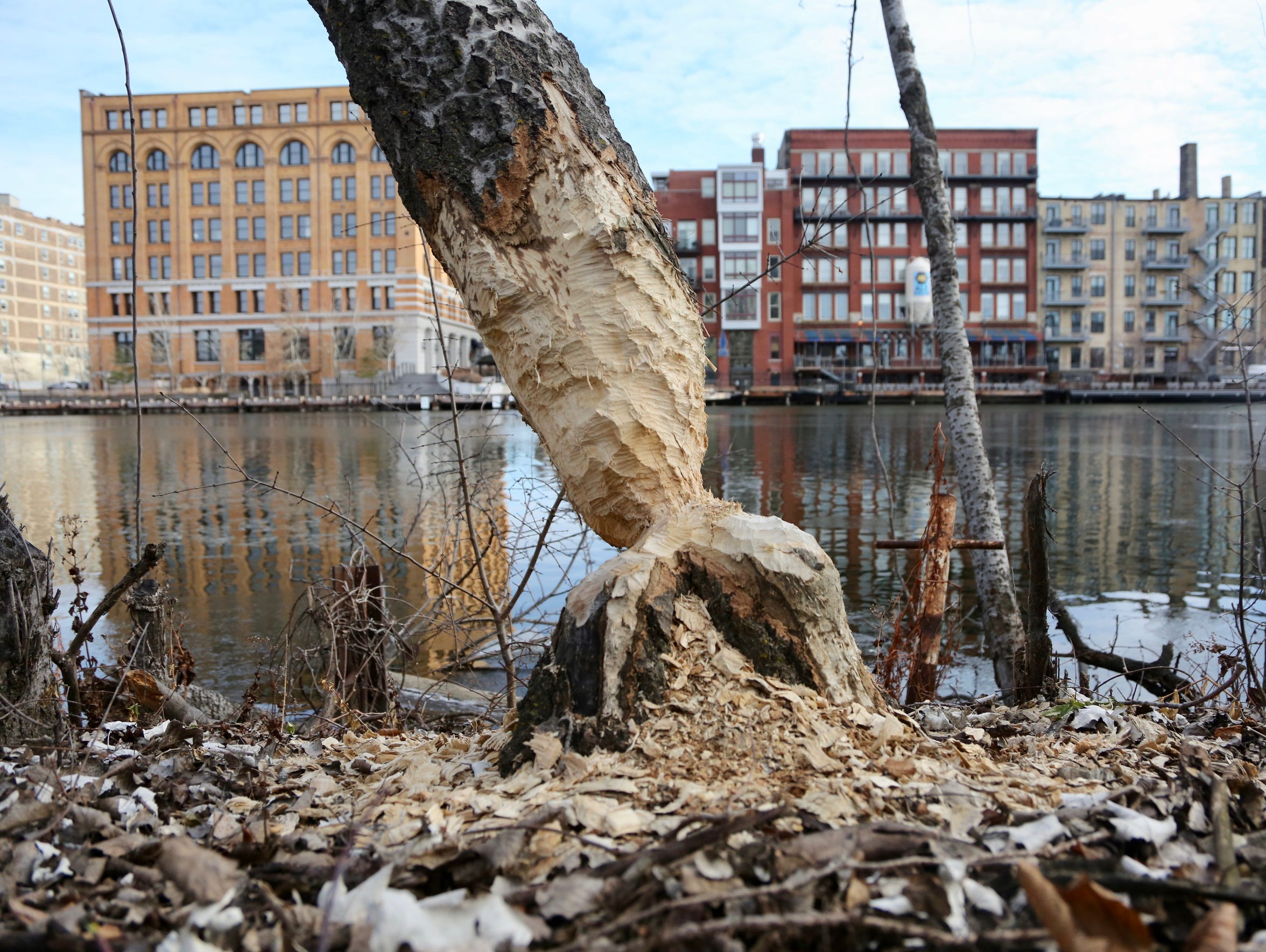 Beavers have been busy in the heart of downtown Milwaukee,