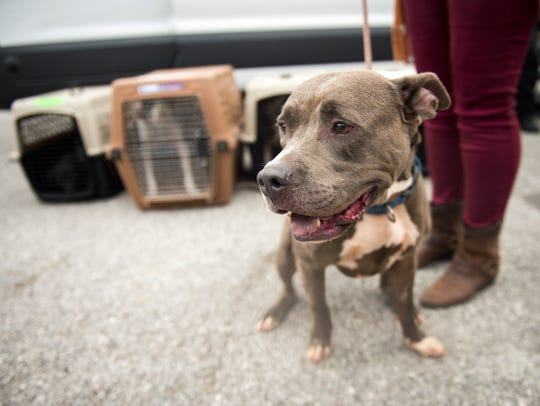Wheezie, a pit bull mix, would not be allowed on a Delta airplane as of July 10 under the new ban. Wheezie is a double evacuee, having been evacuated for Hurricane Matthew as well as Hurricane Irma. Wheezie and several other dogs and cats from South Carolina shelters affected by Hurricane Irma were transported to Young-Williams Animal Center on Sept. 12.