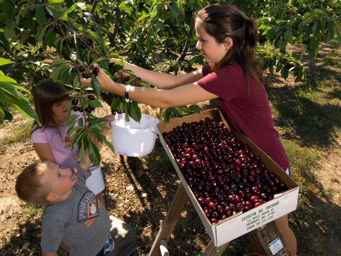 Cherry picking at Catoctin Mountain Orchard in Thurmont,