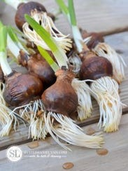"Check bulbs for roots and 2"" shoots"