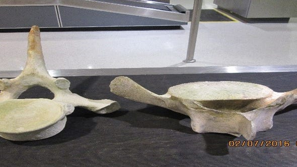 The possible whale bones seized from a passenger at