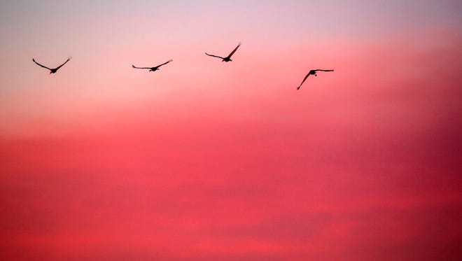 A group of Sandhill cranes take flight in the early morning light in Cecilia, Ky. The area is a resting spot for the birds during their winter migration. Feb. 9, 2018.