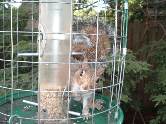 636505853930201517-Beverly-Maline-Squirrel-at-feeder.jpg