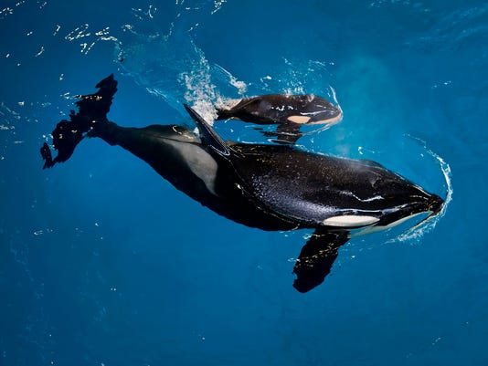 AP SEAWORLD LAST ORCA BIRTH A USA TX
