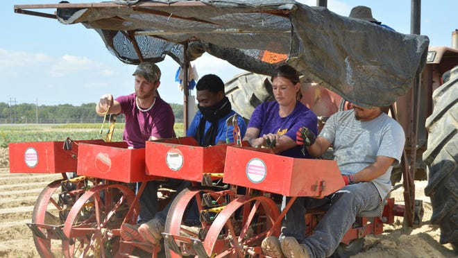 LSU AgCenter associates, from left, Damian Rausin, Montrez Whitley, Brandy Clampit and Angelino Denny demonstrate sweet potato planting during LSU AgCenter Northeast Region youth field day at the AgCenter Sweet Potato Research Station on Sept. 23.