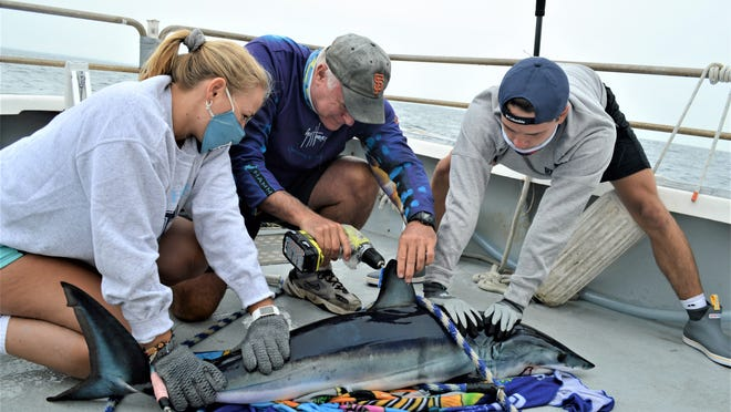 URI Prof. Brad Wetherbee, center, attaches a tag to a mako shark, assisted by URI seniors Bailey Jenkins and Colby Kresge.