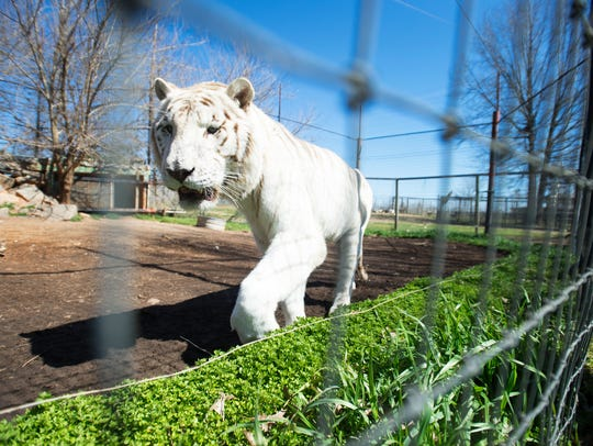 Diamond, a white tiger, walks by the fence line at