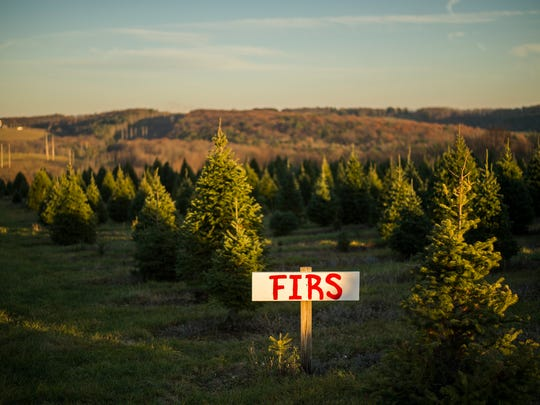 According to Sunny Hill Tree Farm owner Mike Kodey, Frasier firs have become hugely popular and now make up 90% of his 25,000 tree inventory.