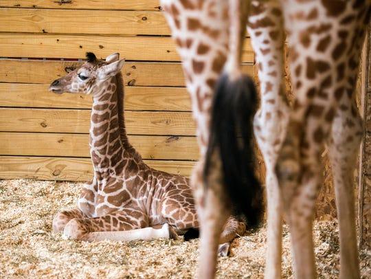 April's calf, Tajiri, sits beside her at Animal Adventure Park.