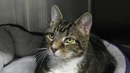 Ethel is an easygoing tabby cat who is looking for love and a forever home.