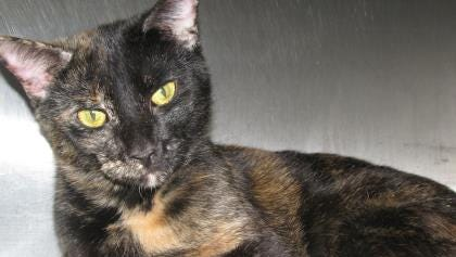 Babushka is a sweet, beautiful tortoiseshell cat who is eager to find her forever home.