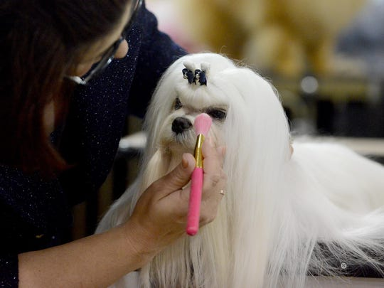 Stacy Newton applies drying powder to her maltese, Jeremy, in preparation for his turn Saturday in the the Jackson, Tennessee Dog Fancier's Association AKC All Breed Dog Show.