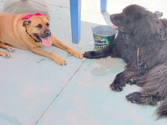 Best friends since day one are Gypsy and Lexi who met at the Marco Island Dog Park when both were just puppies.